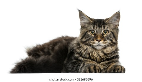 Maine Coon lying in front of a white background