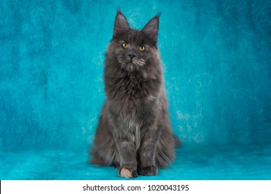 Maine Coon on a blue isolated background