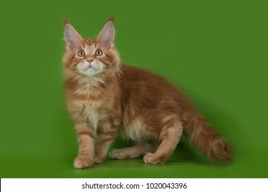Maine Coon on a green isolated background