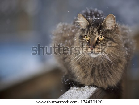 Maine Coon Outdoor Cat with Snow