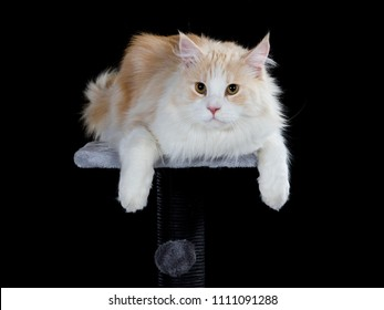 Maine coon portrait. Cat isolated on black