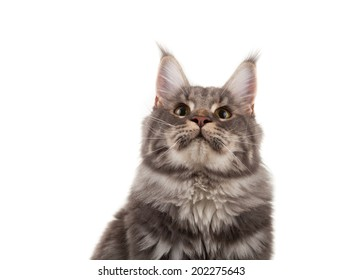 Maine coon portrait on a white background