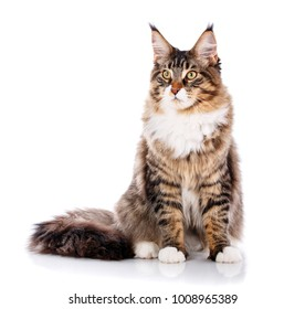 Maine Coon sitting and looking away, isolated on white