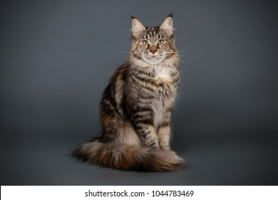 Brown Tabby Maine Coon Images, Stock Photos & Vectors | Shutterstock