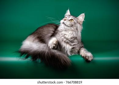 Maine Coon Tabby cat
