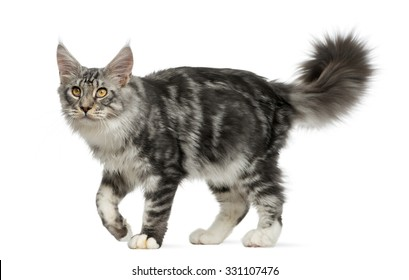 Maine Coon walking in front of a white background