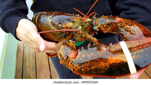 Maine fresh caught lobster displayed outdoors.