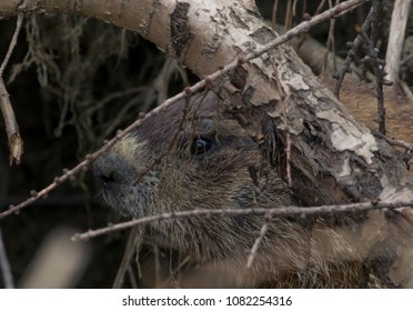 Maine: Ground Hog Camouflage / Extreme closeup of a ground hog being stealthy in town of Carmel
