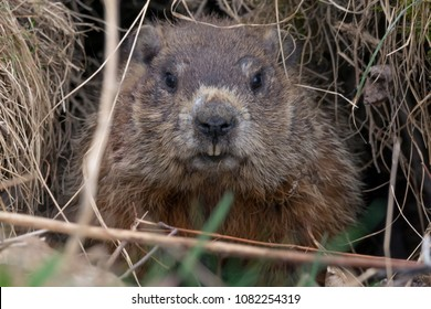 Maine: Ground Hog / Extreme closeup of a ground hog in town of Carmel