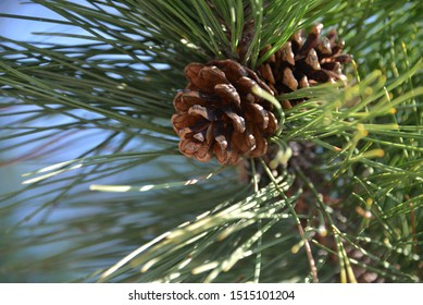 Maine Pine Cone in Summer
