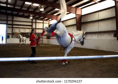 Bŭton, Maine / USA - August 26 2012: Herrmann's Royal Lipizzan Stallions at Hearts & Horses Therapeutic Riding Center