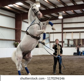 Bŭton, Maine / USA - August 26 2012: Herrmann's Royal Lipizzan Stallions at Hearts & Horses Therapeutic Riding Center