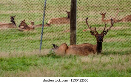 Maine Whitetail Deer