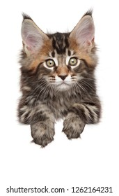 Maine-coon above banner, isolated on white background. Baby animal theme