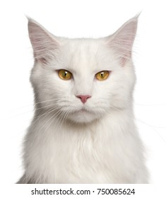 Maine-coon cat, 8 months old, portrait in front of white background