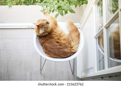 Maine-coon cat on white chair