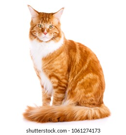 Mainecoon thoroughbred cat on a white background. Purebred cat. Well-groomed kitten. Pet, comfort and calm concept. Not look at the camera