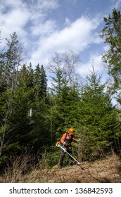 Maintenance of wild fir forest using a brush cutter