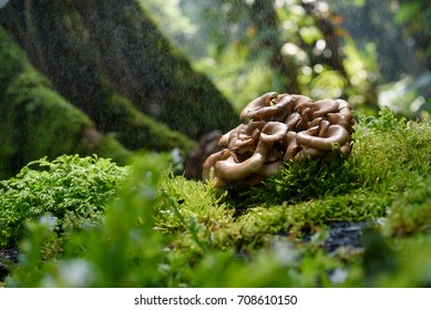 Maitake mushroom growing in nature