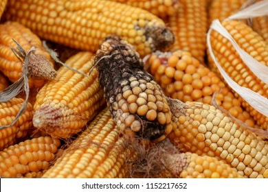 Maize after shelling is damage by moisture and have more fungus is cuase of aflatoxin