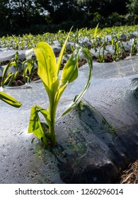 Maize being grown under biodegradable plastic for use as animal feed Carmarthenshire Wales