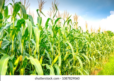 Maize or corn organic planting in cornfield. It is fruit of corn for harvesting by manual labor. Maize production is used for ethanol animal feed and other such as starch and syrup. Farm on sunset
