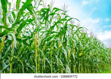 Maize or corn organic planting in cornfield. It is fruit of corn for harvesting by manual labor. Maize production is used for ethanol animal feed and other such as starch and syrup. Farm on blue sky