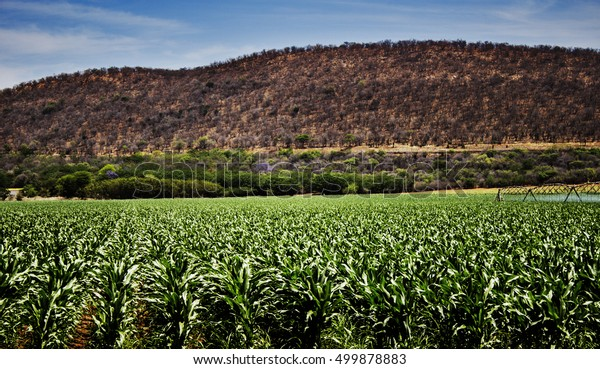Maize Crop Fields with hilltop in background