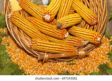 Maize ears and kernels in basket