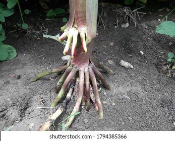 Maize fibrous root. Fibrous root systems look like a mat made out of roots when the tree has reached full maturity.