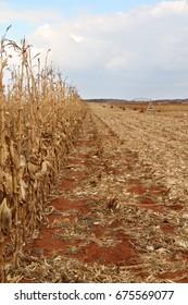 Maize field.