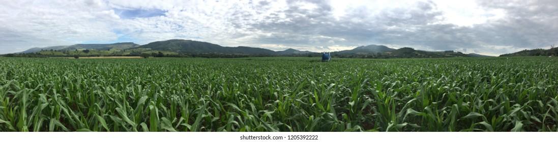Maize field crop