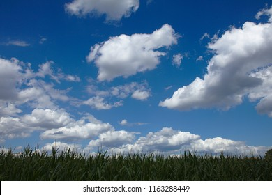 Maize field in front of a blue sky with white clouds