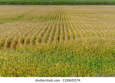 Maize growing in the field
