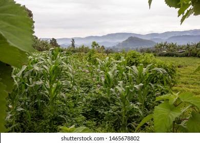 Maize Irish Potato and banana crops in east Africa