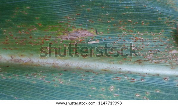 Maize Rust diseases that damage on leaf, close-up.