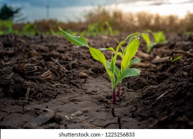 Maize seedling in agricultural garden, Growing Young Green Corn Seedling