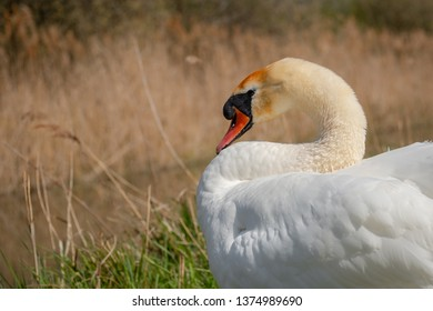 Majestic adult Swan seen resting by an inland waterway in late spring. One of a number of breeding pairs, she is located in a famous wildlife reserve.