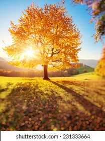 Majestic alone beech tree on a hill slope with sunny beams. Dramatic colorful morning scene. Red and yellow autumn leaves. Carpathians, Ukraine, Europe. Beauty world. Tilt Shift blur effect.