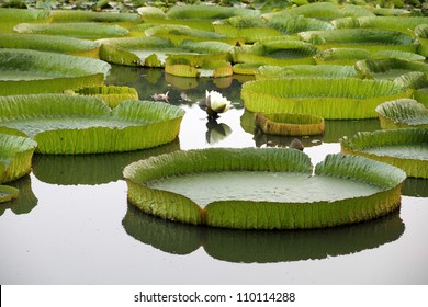 Majestic amazon lily pads in tropical Asia (Victoria Regia)