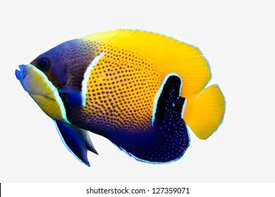 Majestic Angel fish isolated on white