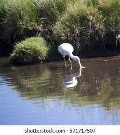 Majestic Australian Platalea flavipes yellow billed  royal spoonbill standing in the cool water of the blue  lake  fishing at Big Swamp Bunbury Western Australia on a fine sunny afternoon in summer.