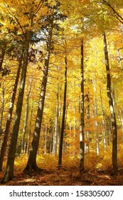Majestic autumn beech forest in golden colors.