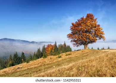 Majestic autumn landscape with morning fog on hills mountain and lonely beech tree.