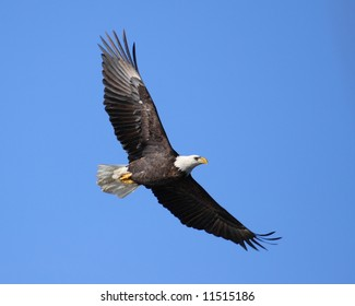 Majestic Bald Eagle soaring