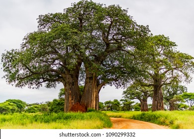 Majestic baobab trees tower over open acacia woodland and savannah grasslands in Tarangire National Park, Tanzania. A red dirt road contrasts with the new leaves and grasses green from the long rains.