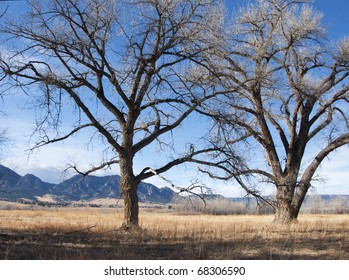 Majestic bare cottonwood trees look out towards open space on the Colorado prairie.