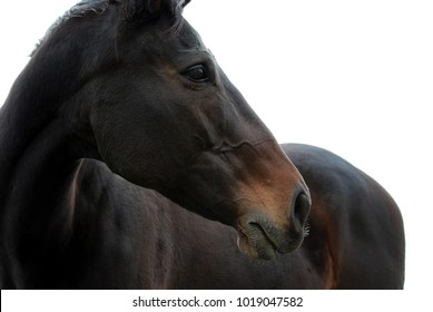 majestic bay thoroughbred horse face looking on white background