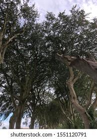 Majestic Beech Trees Along the Dark Hedges, Northern Ireland