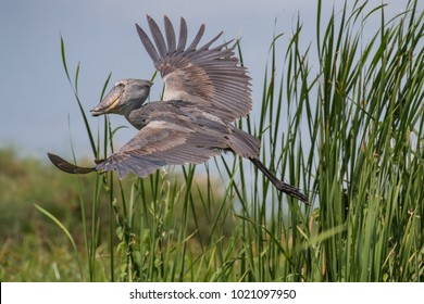 The majestic bird of the wetlands and an excellent fisherman is in typical green environment. It just caugh its prey - fish and flying away. The Shoebill (balaeniceps rex) or Shoe-Billed Stork